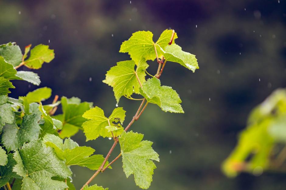 Zdjęcie numer 8 - galeria: Casualowy piątek: Winnica Srebrna Góra - chcemy produkować coraz lepsze wina (zdjęcia)