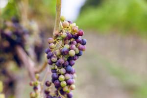 Zdjęcie numer 10 - galeria: Casualowy piątek: Winnica Srebrna Góra - chcemy produkować coraz lepsze wina (zdjęcia)