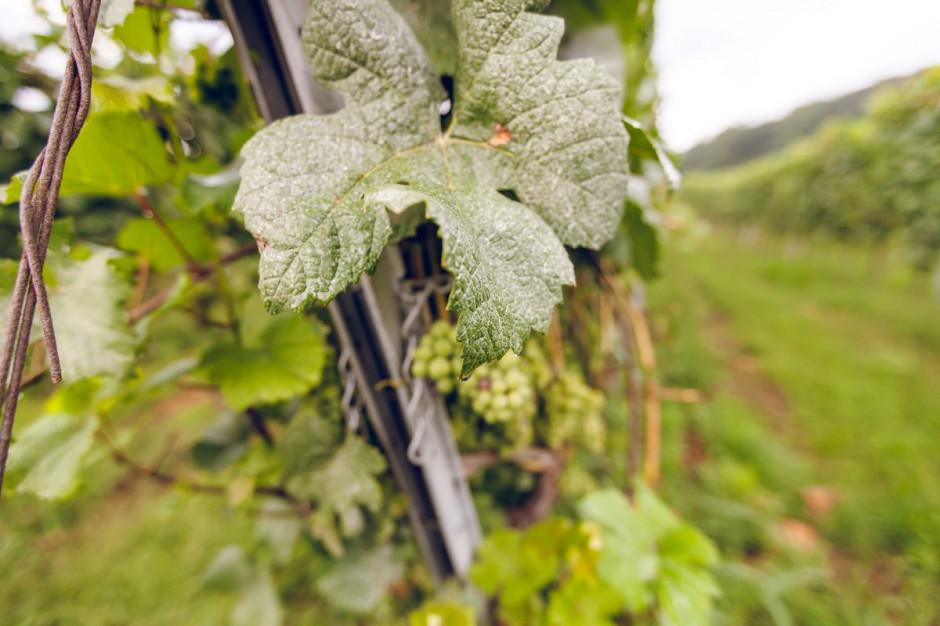 Zdjęcie numer 12 - galeria: Casualowy piątek: Winnica Srebrna Góra - chcemy produkować coraz lepsze wina (zdjęcia)