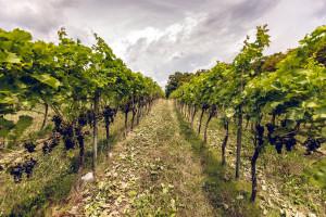 Zdjęcie numer 11 - galeria: Casualowy piątek: Winnica Srebrna Góra - chcemy produkować coraz lepsze wina (zdjęcia)