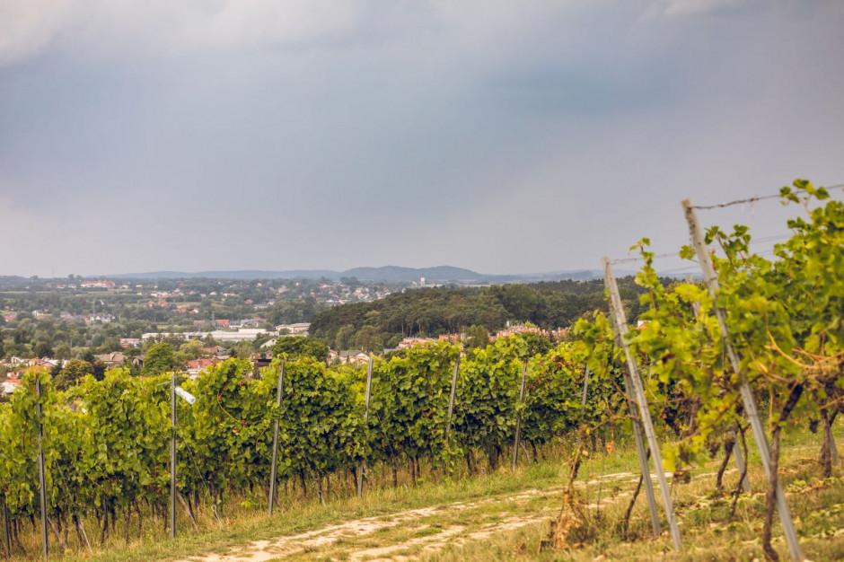 Zdjęcie numer 13 - galeria: Casualowy piątek: Winnica Srebrna Góra - chcemy produkować coraz lepsze wina (zdjęcia)