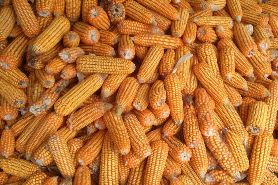 IZP: zebrano już ponad 70 proc. uprawianej kukurydzy
