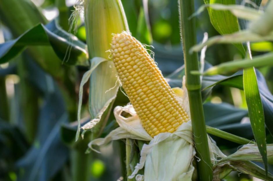 Polska podniosła w Brukseli sprawę nadmiernego importu kukurydzy z Ukrainy