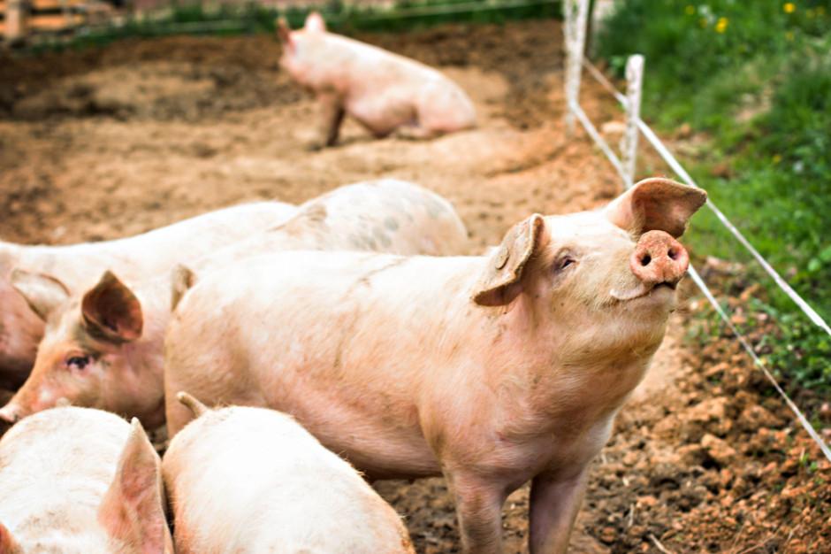 Wieprzowina: Ceny tuczników w Niemczech znów biją rekordy