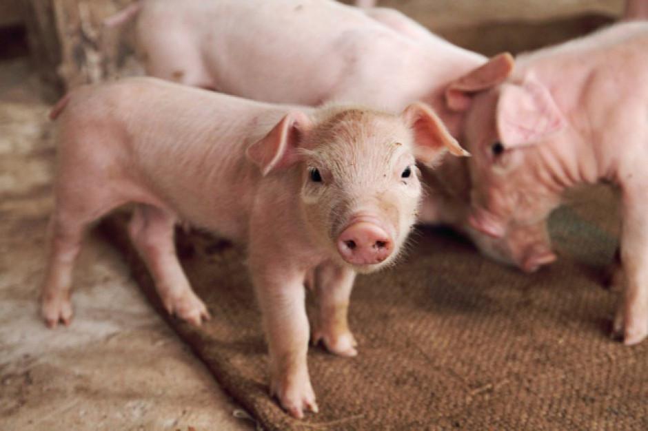KSG Agro inwestuje w bioasekurację, co ograniczy ryzyko wystąpienia ASF