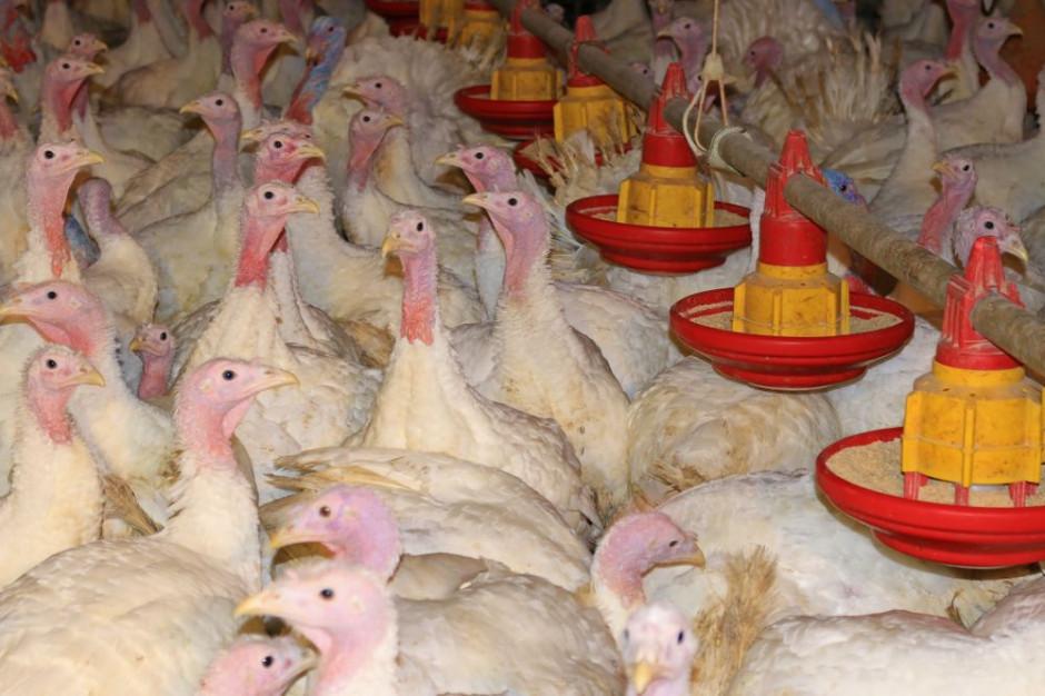 W styczniu ruszy program zwalczania salmonelli u indyków hodowlanych