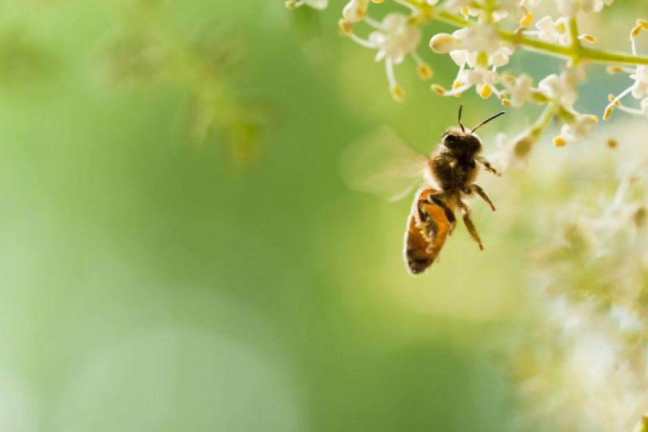 PE wzywa do ograniczenia pestycydów, aby chronić europejskie pszczoły