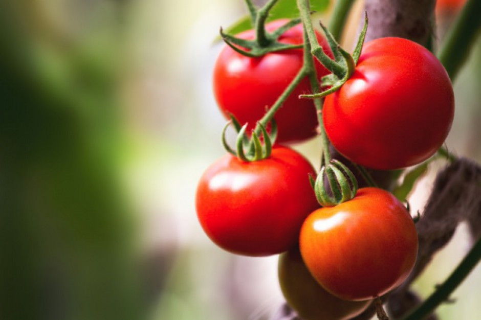 Genetycznie zmieniony pomidor do szybkiej hodowli w mieście