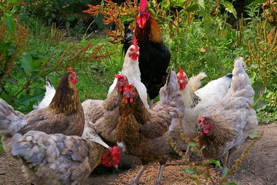 W Lubelskiem wykryto kolejne ognisko grypy ptaków