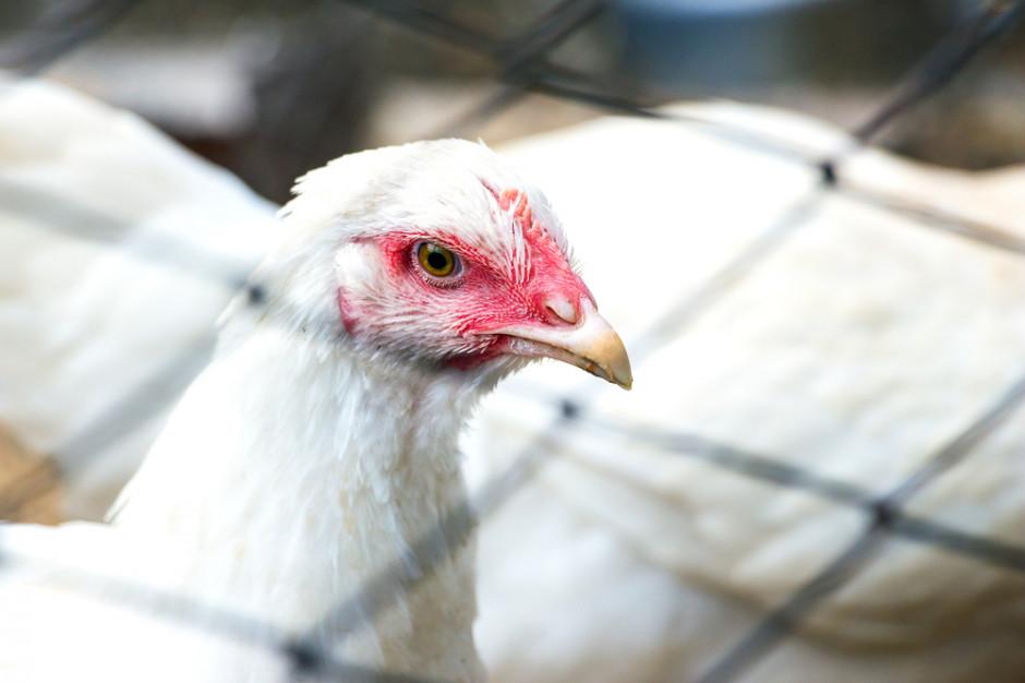 Wielkopolskie: Na ok. 12 zł wyceniono jedną kurę padłą na ptasią grypę