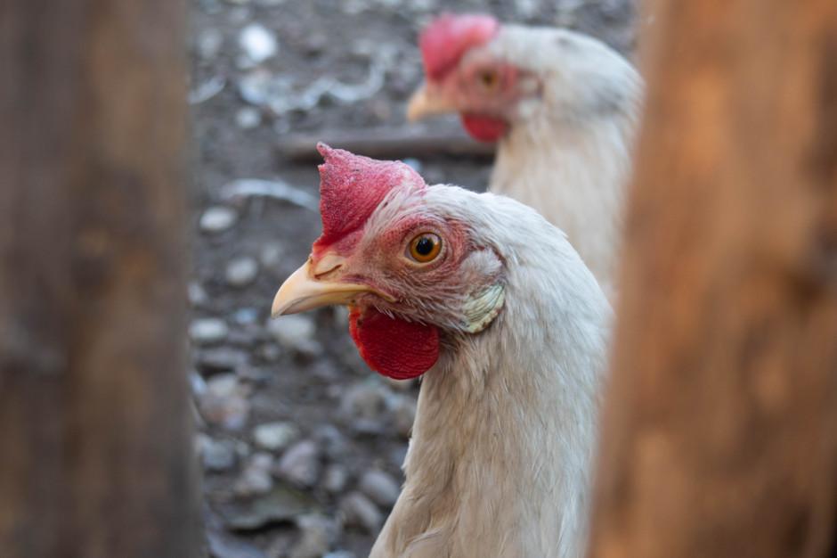 Mięso na wtorek: Grypa ptaków znów uderza w polskie drobiarstwo