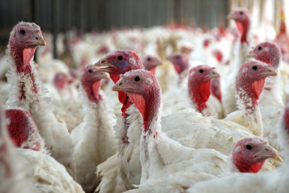Zachodniopomorskie: Ptasia grypa na fermie indyków