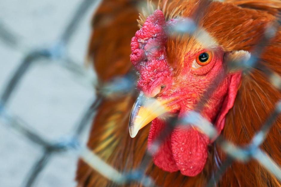 Zachodniopomorskie: Rozpoczęto zagazowywanie hodowli drobiu, gdzie potwierdzono wirus H5N8
