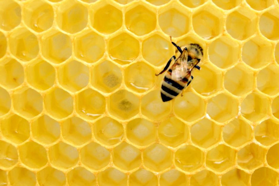 Właściwości probiotyczne i prebiotyczne miodów pszczelich w aspekcie ich jakości i bezpieczeństwa zdrowotnego