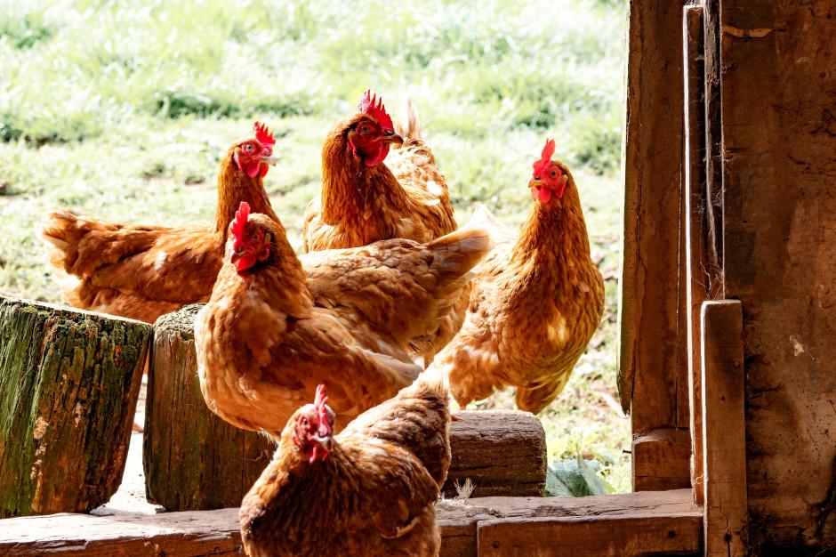 Dwa nowe ogniska ptasiej grypy w Wielkopolskiem