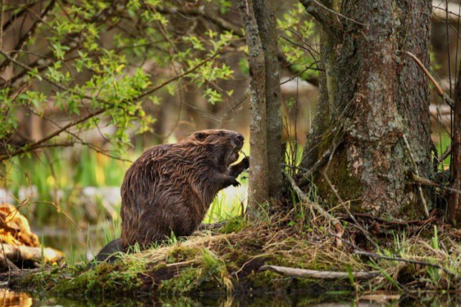 Zieloni domagają się anulowania odstrzału bobrów