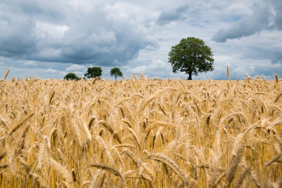 Obawy o spadek zbiorów pszenicy w UE w 2020 r.