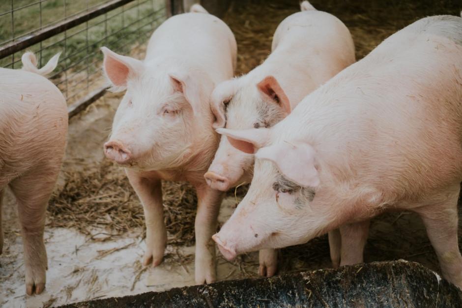 Podejrzenie ASF w stadzie świń w Wielkopolsce