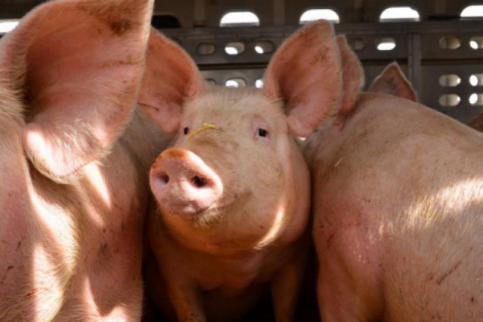 Wyniki analizy próbek PIW w wielkopolskim stadzie świń ujemne dla ASF