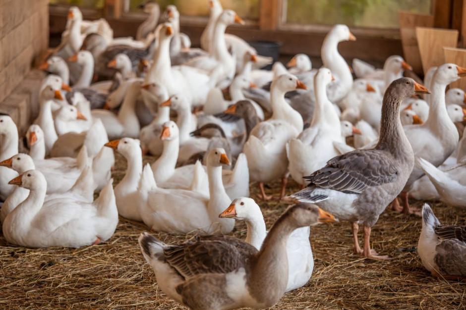 Wielkopolskie: potwierdzono ognisko ptasiej grypy na fermie kaczek