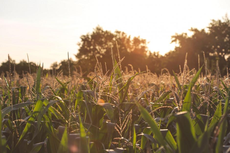 Algorytm dokładniej przewidzi plony kukurydzy
