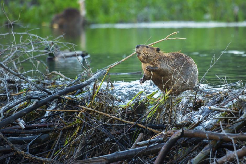 Podlasie: Chciał wwieźć do Polski skóry bobra i wydry