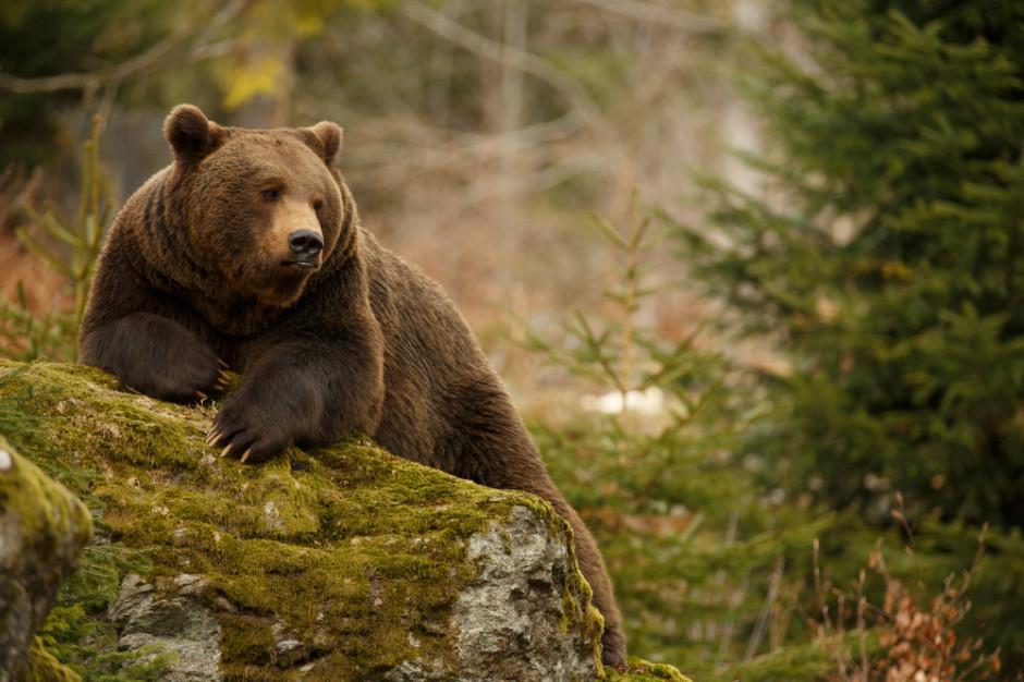 Podkarpacie: Udaremniono przemyt preparatu z niedźwiedzią żółcią