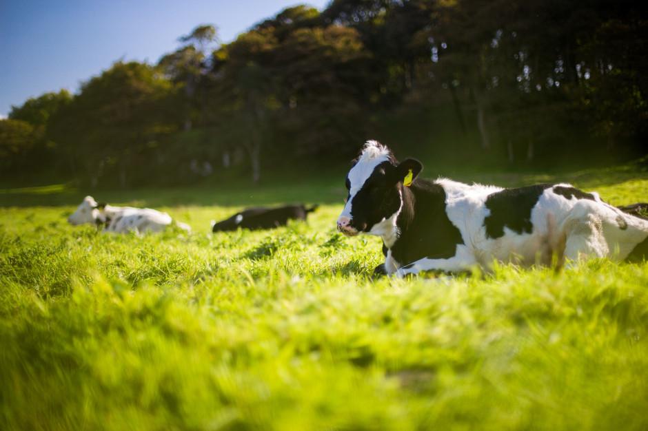 Mleko nie zawiera GMO. Nie ma znaczenia czym żywione były krowy