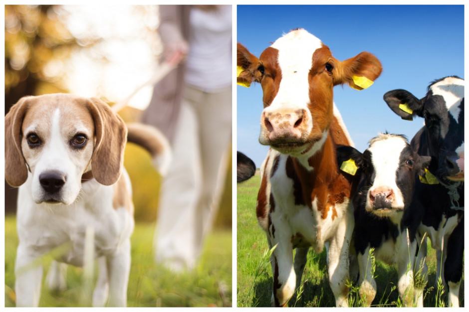 GIW: COVID-19 a postępowanie ze zwierzętami domowymi i gospodarskimi