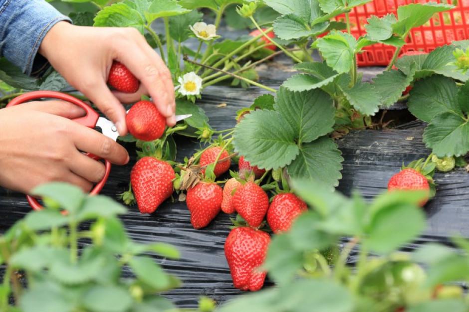 Brak cudzoziemców do pracy może sparaliżować tegoroczne zbiory truskawek
