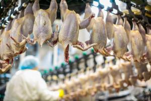 Mięso na wtorek: W drobiarstwie największy kryzys od 1989. Będzie fala upadłości?