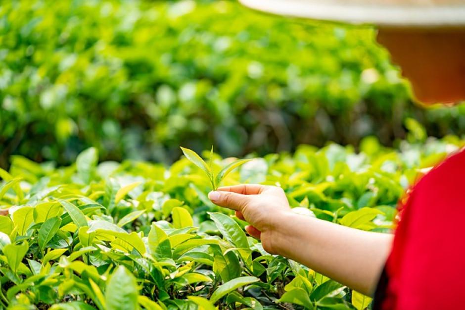 Pandemia koronawirusa zakłóciła rynek herbaty