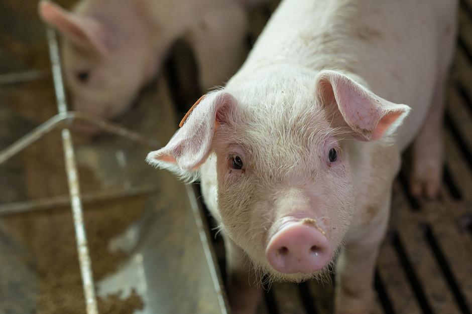 Hodowcy: Kryzys w Wielkopolsce zdestabilizuje branżę wieprzową w całej Polsce