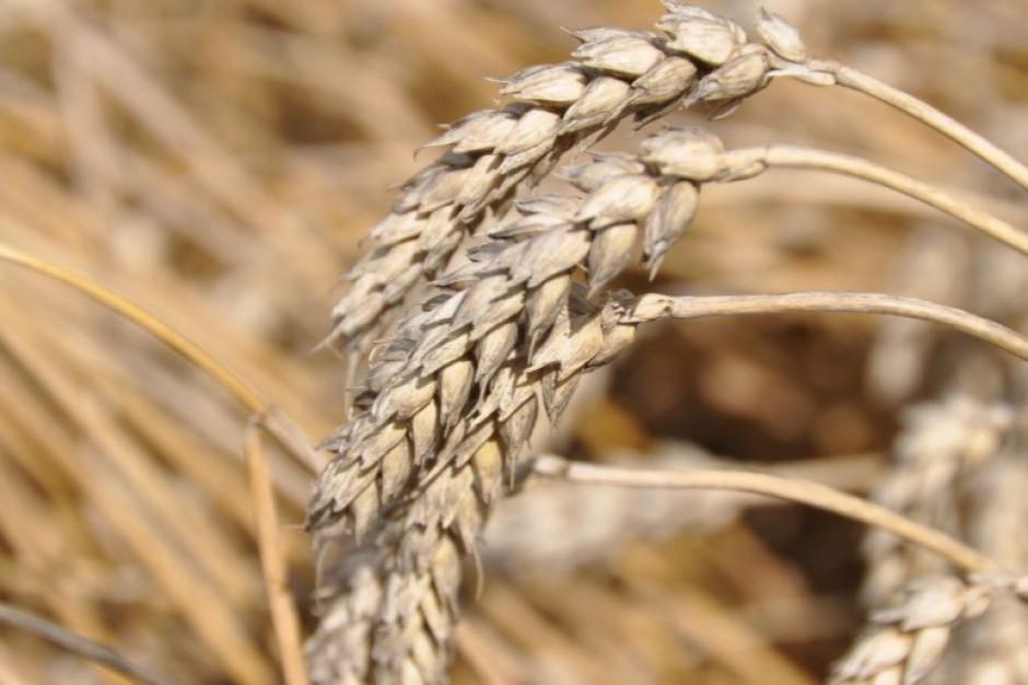 Izba Zbożowo-Paszowa: deszcze ożywiły podaż zbóż