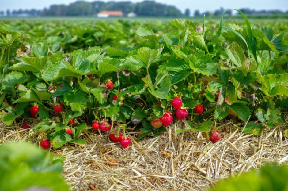 Sezon truskawkowy nabiera rozpędu. Ceny spadają