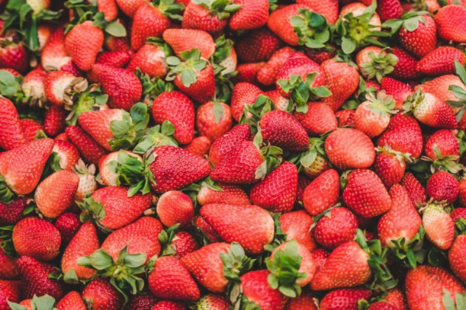 Pięć złotych za kilogram truskawek - trzeba samemu zebrać owoce