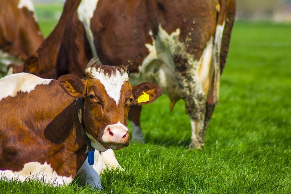 Początek sezonu grillowego przyniósł ożywienie cen bydła w skupie