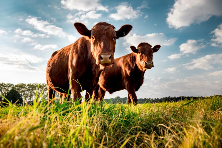 Odbudowa eksportu polskiej wołowiny będzie powolna w porównaniu do innych gatunków mięs