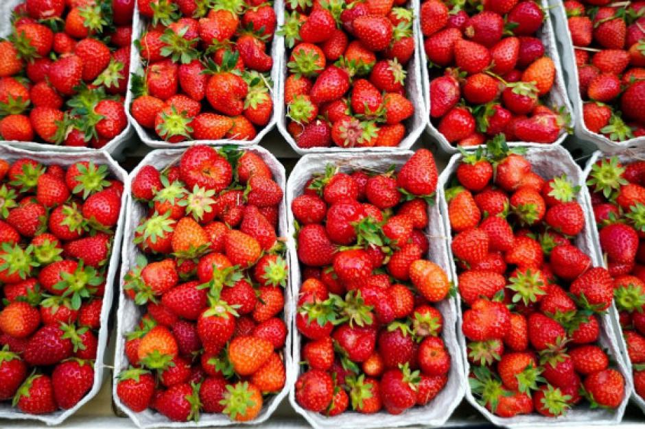 Przez deszcze spada jakość i cena truskawek