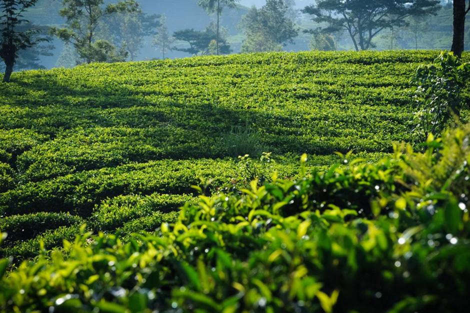 CEO Dilmah o wpływie pandemii COVID-19 na rynek herbaty
