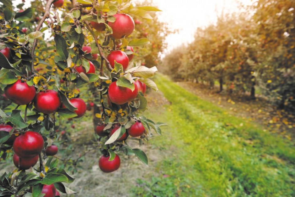TRSK: W tym roku będą mniejsze zbiory jabłek. Spodziewać się można problemów z jakością