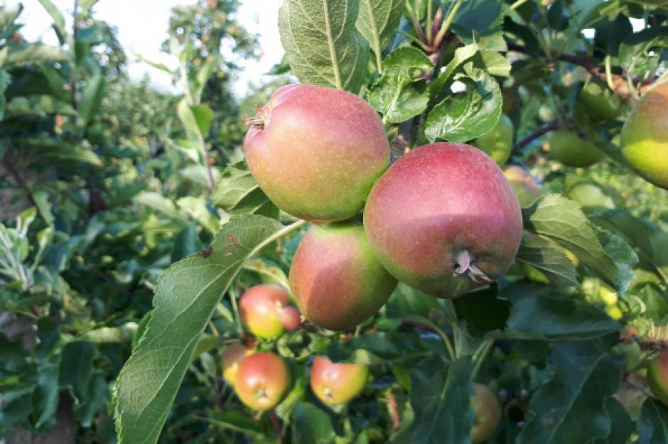Ceny jabłek z przerywki dochodzą do 40 gr/kg
