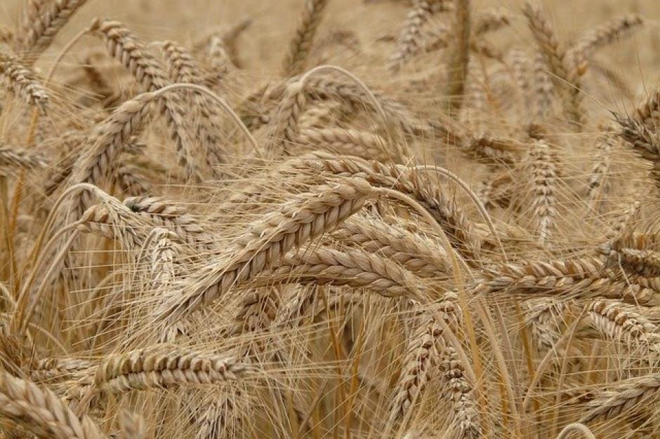 GPW: Żyto na Rynku Towarów Rolno-Spożywczych