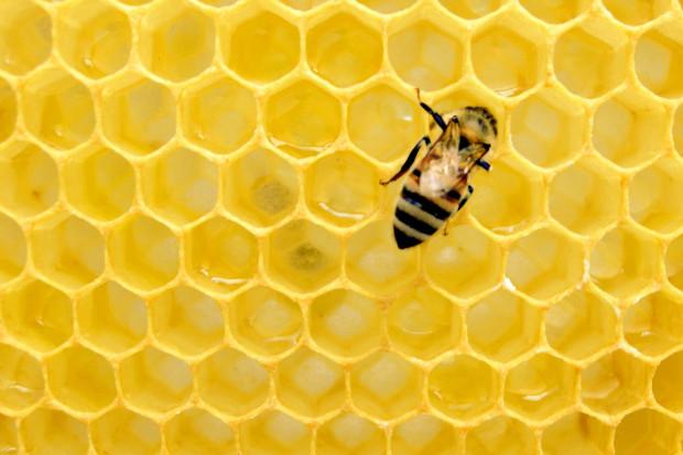 MRiRW: pszczoła produkuje w ciągu całego życia jedną płaską łyżeczkę miodu