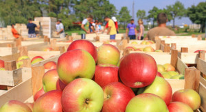Wyższe zbiory jabłek w Polsce