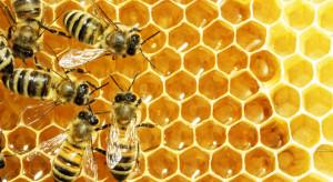 Pszczelarze: W tym roku będzie mniej miodu