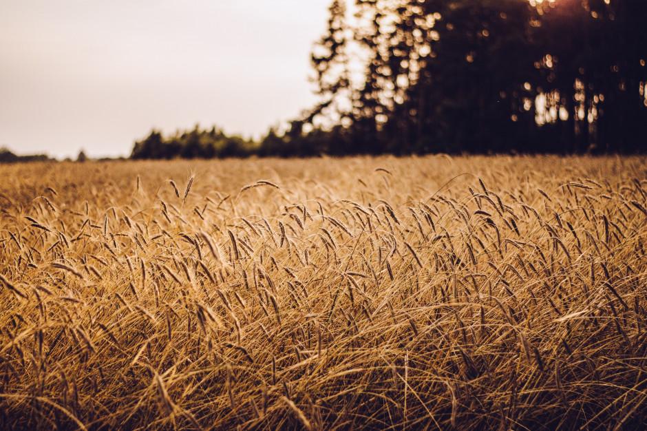 Izba Zbożowo-Paszowa: pogoda sprzyja żniwom. Jest urodzaj zbóż
