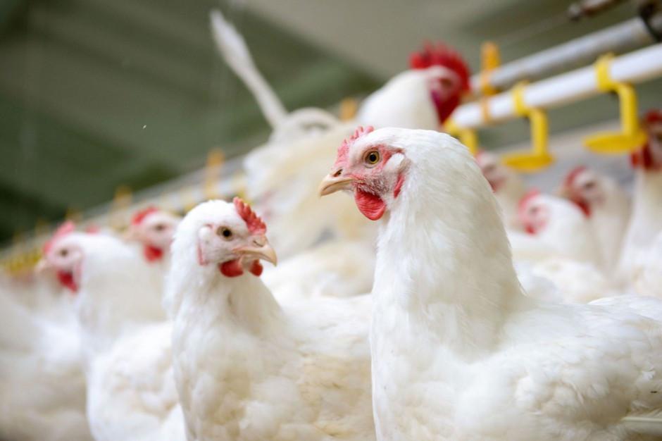 Węgiel alternatywą dla antybiotyków w żywieniu drobiu?
