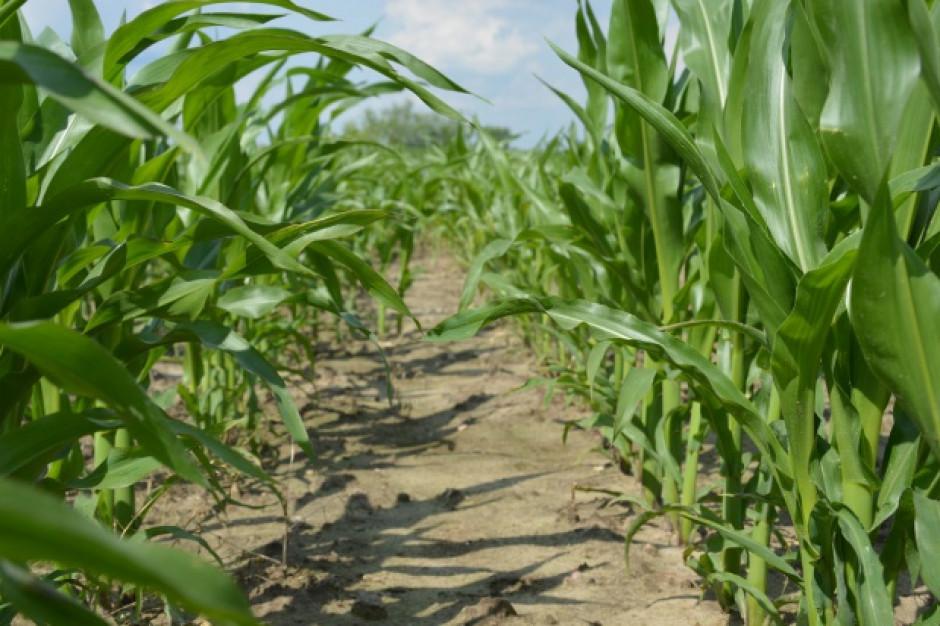 IUNG: susza trochę mniejsza,  wody najbardziej brakuje uprawom kukurydzy
