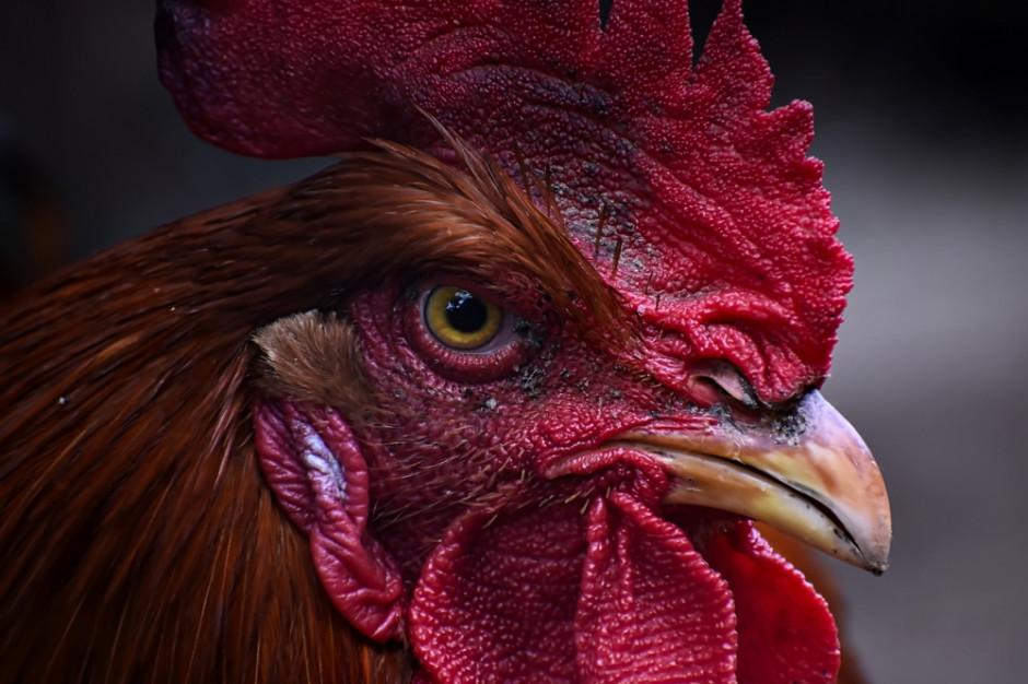 Od 2022 r zakaz uśmiercania kogucików na kurzych fermach w Niemczech